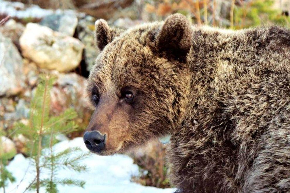 Villmarkskurs i Sverige: selvutvikling i speilet av brunbjørnen