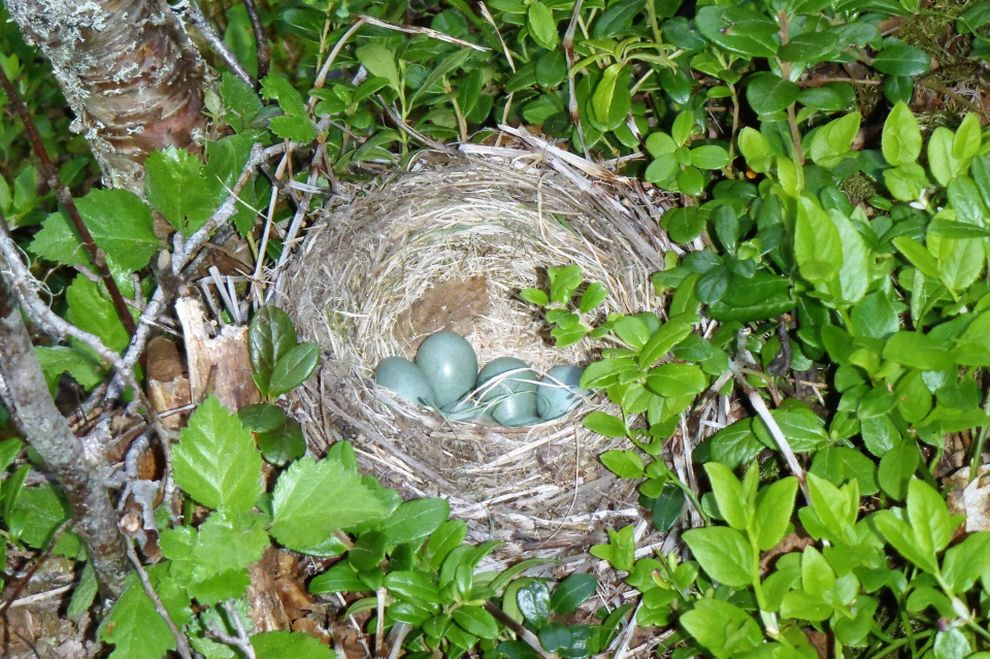 Nature experience in Norway: birds' nest (picture)