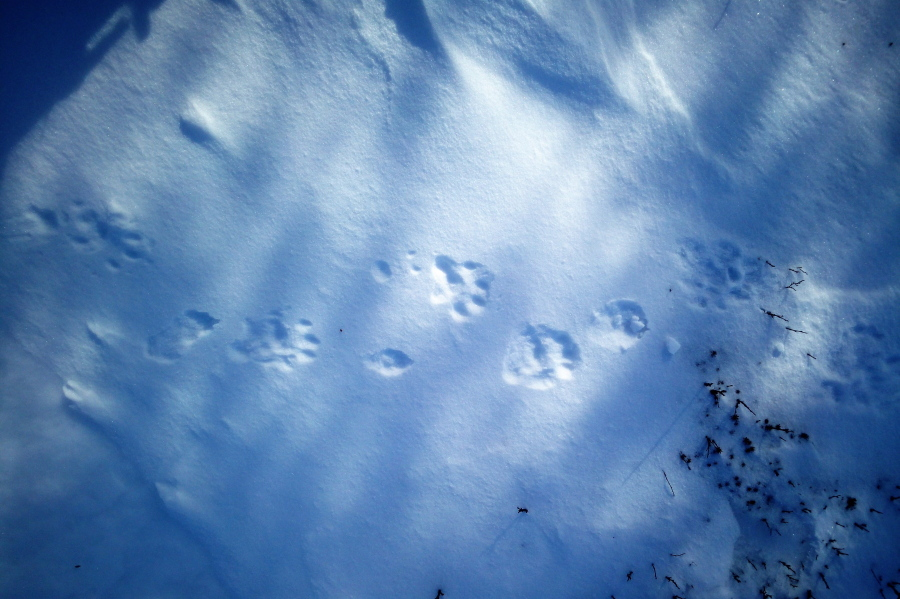 Tracking in the snow: wolverine and red fox (picture)